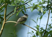 A stunning male Blackcap Sylvia atricapilla perching on the branch of a tree singing. A male Blackcap Sylvia atricapilla perching on the branch of a tree Stock Photography