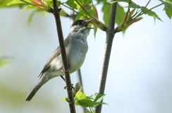 A stunning male Blackcap Sylvia atricapilla perching on the branch of a tree singing. A male Blackcap Sylvia atricapilla perching on the branch of a tree Royalty Free Stock Photography