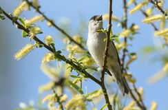 A stunning male Blackcap Sylvia atricapilla perching on the branch of a willow tree singing. A male Blackcap Sylvia atricapilla perching on the branch of a Royalty Free Stock Photography
