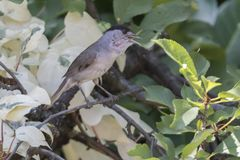 Male blackcap on tree. At park Stock Photo