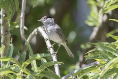 Male blackcap on tree. At park Royalty Free Stock Photo