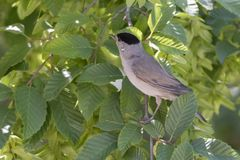 Male blackcap on tree. At park Royalty Free Stock Images
