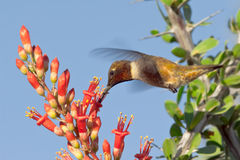 Male Blackchin Hummingbird feeding on Ocotillo Stock Photography