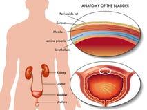 Male bladder stock illustration