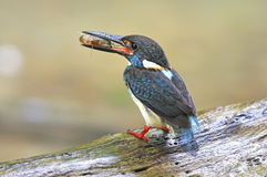 Male Blue-banded Kingfisher Stock Photography