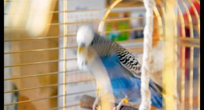 Male blue budgerigar playing with a bell on the cage stock video footage