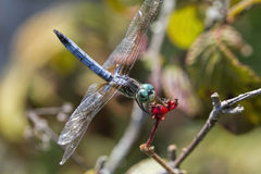 Male Blue Dasher Dragonfly - Pachydiplax longipennis Stock Image