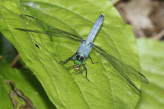 Male Blue Dasher Eating a Hover Fly Royalty Free Stock Image