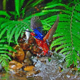 Male Blue-eared Kingfisher Stock Image