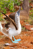 Male Blue-footed Booby displaying on North Seymour Island, Galap Stock Image