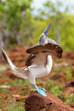 Male Blue-footed Booby displaying on North Seymour Island, Galap Stock Images