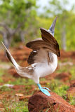 Male Blue-footed Booby displaying on North Seymour Island, Galap Stock Photos