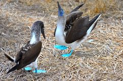 Mating dance of the Blue footed booby on Isla de la Plata, Ecuador. A male blue footed booby struts for the female and shows her his feet.  The bluer the males royalty free stock photography