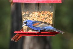 Male Blue Grosbeak (Passerina caerulea) Royalty Free Stock Photos