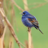 Male Blue Grossbeak Stock Images