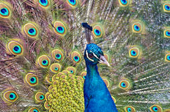 Male blue Indian peafowl  displaying the train Stock Photos
