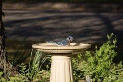 Male Blue Jay Splashes in Birdbath. Male Blue Jay bathing in birdbath and splashing water drops while enjoying a sunny afternoon Stock Photos