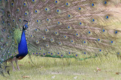 Male Blue Peacock Showing His Fan Tail Royalty Free Stock Image