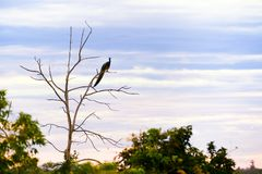 A Male Blue Peafowl or Peacock Pavo cristatus in a Tree at Dawn. An impressive male Indian Peafowl or Peacock Pavo cristatus perched high in a tree overlooking royalty free stock photography
