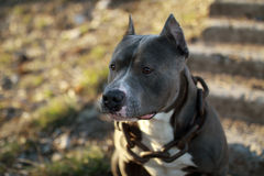 Male blue pit bull Royalty Free Stock Photos