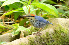Male blue pitta Royalty Free Stock Photo