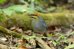Male blue pitta Royalty Free Stock Images