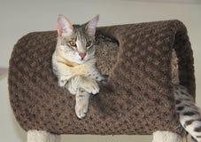 Male Blue Serval Savannah Kitten Stock Photo