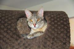 Male Blue Serval Savannah Kitten Stock Photos
