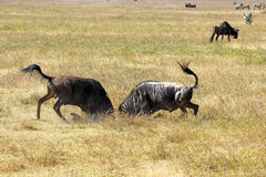 Male blue wildebeests fighting Royalty Free Stock Photo