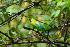 Male blue-winged leafbird Royalty Free Stock Photography