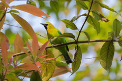 Male Blue Winged Leafbird, green bird with yellow head, black fa Stock Photography