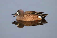 Male Blue-winged Teal Royalty Free Stock Photography