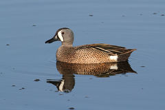 Male Blue-winged Teal Stock Image