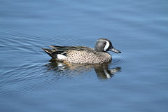 Male Blue-winged Teal Royalty Free Stock Photos