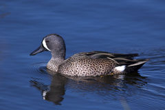 Male blue-winged teal duck. At the Viera wetlands Royalty Free Stock Photography