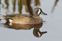 Male Blue-winged Teal - Florida Royalty Free Stock Photo