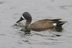 Male Blue-winged Teal - Florida Stock Photography