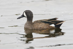 Male Blue-winged Teal Swimming in a Pond - Florida Stock Image