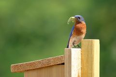 Male Bluebird Bringing Food to Nest Box. A male Eastern Bluebird brings a Swallowtail Butterfly caterpillar to the nest box for the baby birds royalty free stock photography