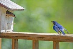 A male Bluebird checks on his mate in the birdhouse. royalty free stock photos