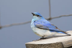Male bluebird on fence wire Royalty Free Stock Image