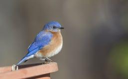 Male Bluebird Royalty Free Stock Photo