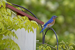 Male Bluebird sits on a perch watching. Royalty Free Stock Photography