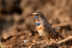 Male bluethroat Royaltyfria Bilder