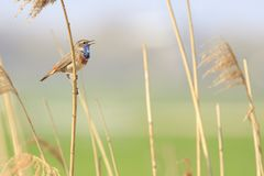 Male Bluethroat bird Luscinia svecica cyanecula singing during stock image