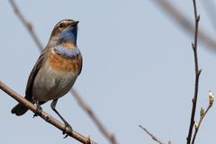 Bluethroat sitting on a  branch. Male bluethroat. Close-up of beautiful bluethroat. luscinia Svecica sitting on a  branch. Bluethroat colored bird sings the Royalty Free Stock Photography