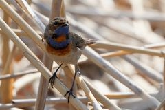 Close-up of beautiful bluethroat. luscinia Svecica standing on the reed. Male bluethroat. Close-up of beautiful bluethroat. luscinia Svecica standing on the Royalty Free Stock Photos