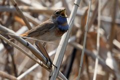 Bluethroat outdoors sits on a cane with a beautiful background. Male bluethroat. Close-up of beautiful bluethroat. luscinia Svecica standing on the reed Royalty Free Stock Photography