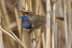 Male Bluethroat red star-shaped singing on a cane Royalty Free Stock Photography