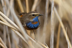 Male Bluethroat red star-shaped sitting on a cane Stock Photo